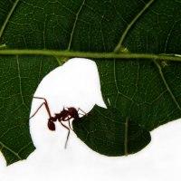 Cosechando para vivir: las hormigas arrieras