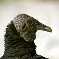 Pepenadores en la Naturaleza: Las aves de los basureros