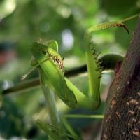 La Mantis, un insecto de otro mundo