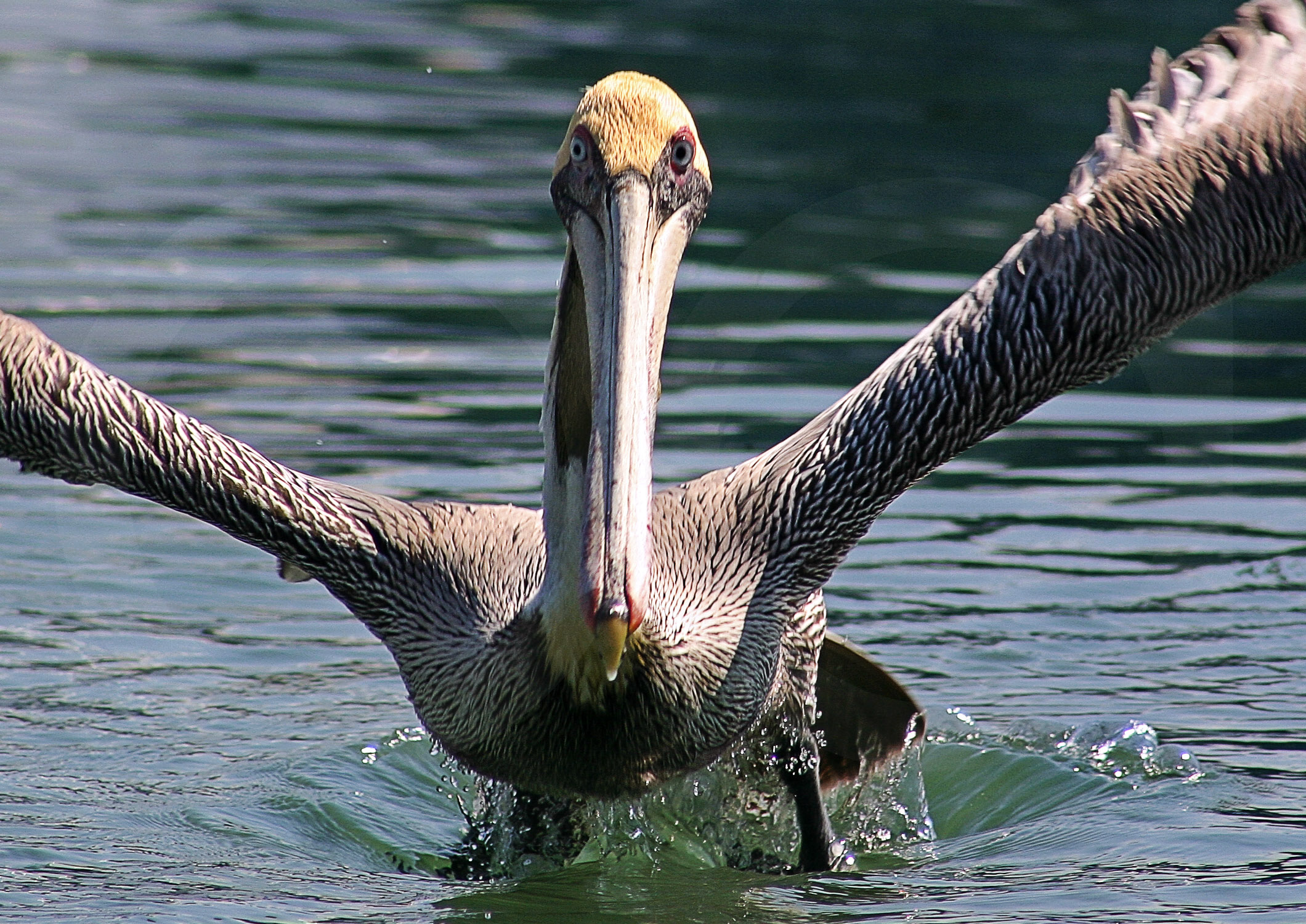 Fotos pel canos relatos de la naturaleza - Fotos de pelicanos ...