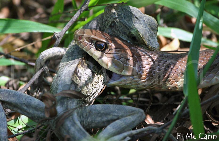 komodo vs cobra