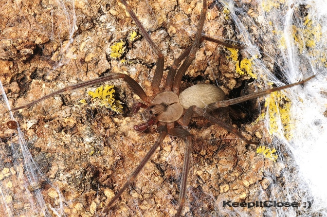 http://www.spiders.us/files/loxosceles-reclusa-8.jpg