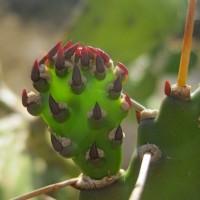 Más que un símbolo Mexicano: El Nopal